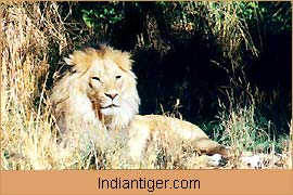 Lion, Nature Tours India