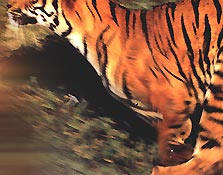 Wildlife Tour India, Indian Wildlife Travel Packages, Tiger Tour India, Jungle Safari India