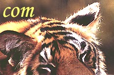 Indian Wildlife Tour Packages,  Indian Tiger Tour,  Wildlife Tiger Tour,  Tiger Safari India