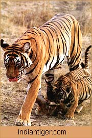 Indian Tige, India Wildlife Tour